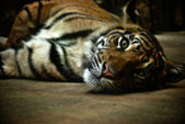 年轻的老虎 — 图库照片