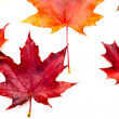 Set of beautiful autumn leaves - Stock Photo