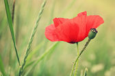 Red poppy with bud — Stock Photo