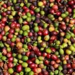 Fresh coffee beans — Stock Photo #12051683