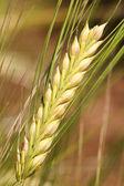 Barley - wheat. — Stock Photo