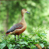 Wild duck. — Stock Photo