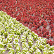 Red and white flowers. - Stock Photo