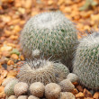 Stock Photo: Cactus