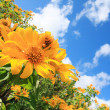 Stock Photo: Beautiful mexicsunflower