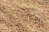 Neloupaná rýže — Stock fotografie