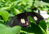 Butterfly Black — Stock Photo