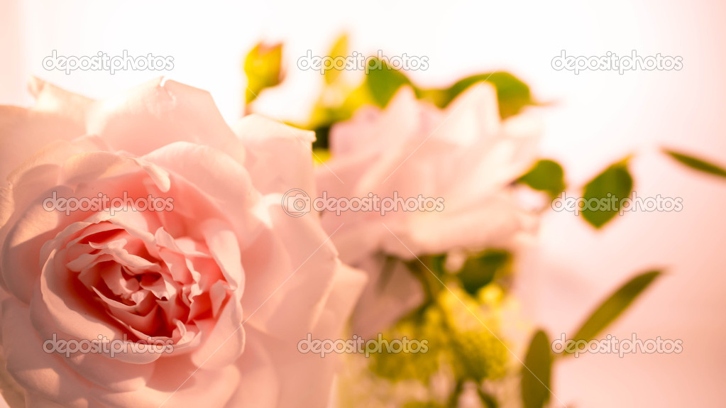 Studio close-up of a peach/pink New Dawn Rose — Stock Photo #11413350