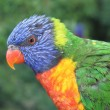 Colorful lorikeet — Stock Photo #11231071