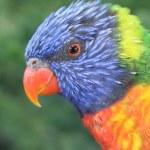 Colorful lorikeet — Stock Photo