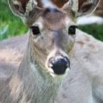 Deer — Stock Photo #11231117