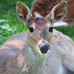 Deer — Stock Photo #11231131