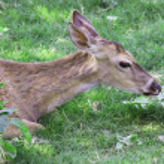 Deer — Stock Photo #11231177