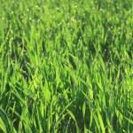 campo de grama — Fotografia Stock  #11233894