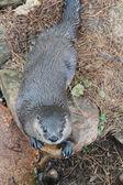 Otter — Stockfoto