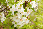 Apple blooms — Stock Photo