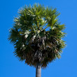 Foto de Stock  : Sugar palm with blue sky background