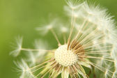 Dandelion missing petals — Stock Photo
