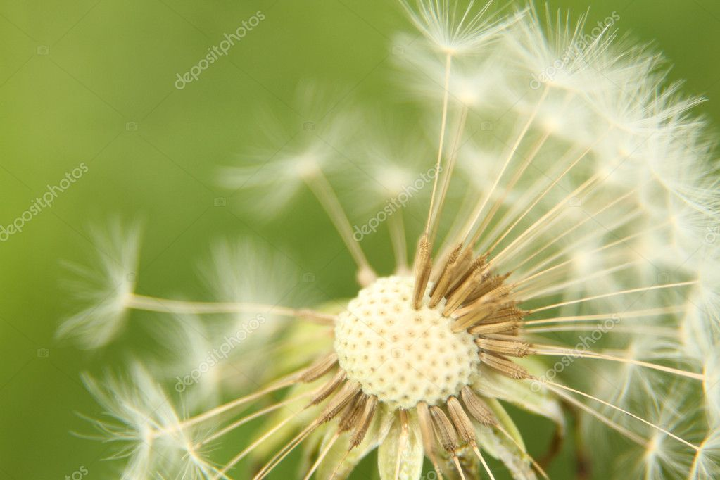 Close up of a dandelion petals missing — Stock Photo #11189335
