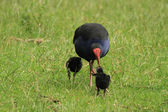 Pukeko avec poussins — Photo