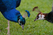 Peacocks and peahens — Stock Photo