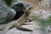 Tuatara — Stock Photo
