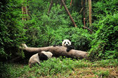 Panda in playing time — Stock Photo