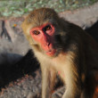 Macaque in Swayambhunath, Kathmandu, Nepal - Stock Photo
