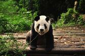 Panda sorrindo — Fotografia Stock