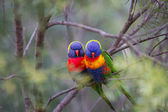 Two beautiful Lorikeet love birds sitting on a branch with a soft focus background — Stock Photo