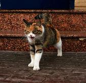 πολύ σοβαρή γάτα — 图库照片