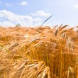 Golden wheat crops — Stock Photo