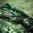 Frog close-up - Stock Photo