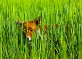 Fox hiding — Stock Photo