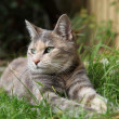 Tortoiseshell Tabby Cat — Stock Photo