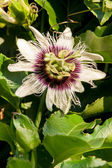 Passionfruit flower on the vine — Stock Photo