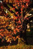 Cascade of Autumn Colour on a Liquid Ambar Tree — Stock Photo