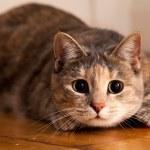 Cat Ready to Pounce — Stock Photo #11856682