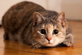 Cat Ready to Pounce — Stock Photo