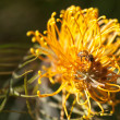 Honey Bee Pollinating a Grevillea Flower — Stock Photo