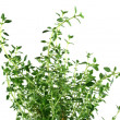 Royalty-Free Stock Photo: Fresh Herbs Thyme