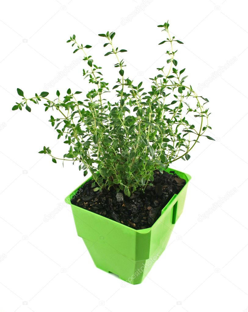 Fresh thyme in a pot ready for the herb garden. — Stock Photo #11386280
