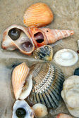 Seashells 2 — Stock Photo