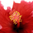 Stamen Of Hibiscus 1 — Stock Photo