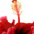 Stamen Of Hibiscus 2 — Stock Photo