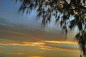 Casuarinas Against Clouds — Stock Photo