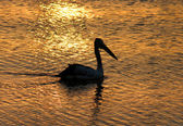 Pelican Silhouette — Stock Photo