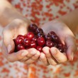 Hands full of cherries — Stock Photo