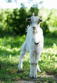 The little goat is standing in the grass — Stock Photo