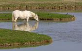 Camargue Horse — Stock Photo